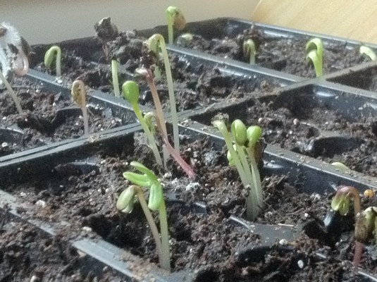 Sunflower sprouts | Grow your own spring